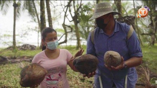 Recolecta de cocos para fabricar el aceite