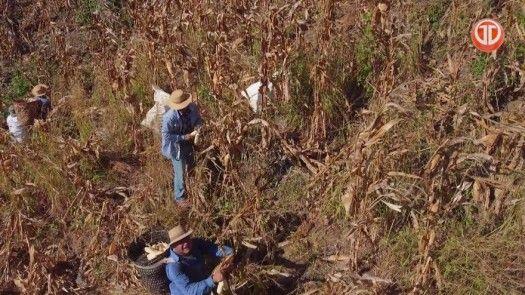 Cosecha de maíz seco en Tonosí