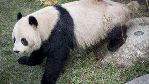 Un panda escapa brevemente en un zoo danés