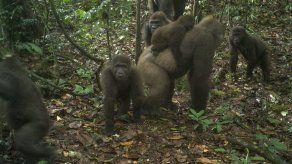 Nigeria: Conservacionistas fotografían a gorilas con crías