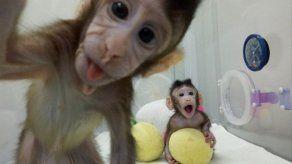 ONG animalista PETA ve clonación de monos como un espectáculo de terror