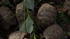 Ecuador repatria 26 tortugas de Galápagos retenidas en Perú