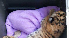 Hallan 2 cachorros de tigre en una bañera en Austria