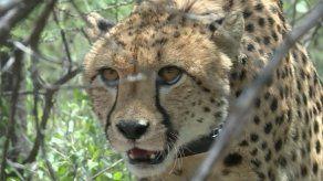 La lucha de Laurie Marker por salvar de la extinción al animal terrestre más veloz