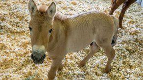 Zoológico de San Diego clona caballo en peligro de extinción