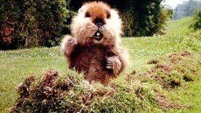 Policía busca a marmota que pronosticó crudo invierno