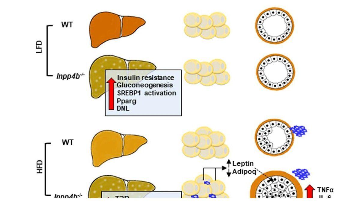 Descubre en un estudio con ratones que la proteína INPP4B protege a los obesos de la enfermedad del hígado graso, la diabetes tipo 2 y la neoplasia de próstata.