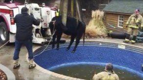 Oklahoma: Rescatan a vaca que quedó atrapada en piscina