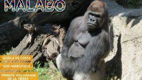 Un gorila ataca a una cuidadora en un zoo en Madrid