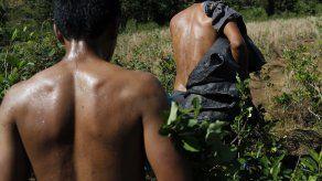 Producción de hoja de coca aumentó en Colombia
