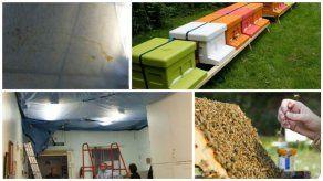 Hospital descubre miles de abejas; goteaba miel del techo