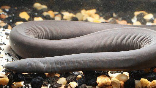 Mediante pruebas de ADN se supo que era un Typhlonectes natans, perteneciente a la familia de los Caecilians y cuyo hábitat natural es el río Cauca, en Colombia, y el lago Maracaibo, en Venezuela.