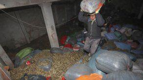 Bolivia usa 224 toneladas de hoja coca ilegal incautada para abono orgánico