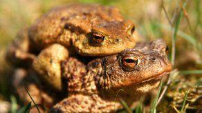 Se posterga en Bolivia el apareamiento de las ranas Romeo y Julieta