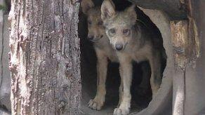 Ocho crías de lobo mexicano nacen en zoo para luchar contra su extinción