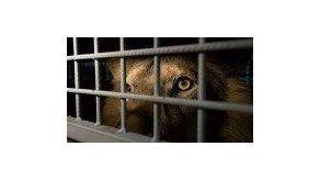 Una manada de leones mata a un cazador en Sudáfrica