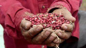 Los milagrosos frijoles que vencen el cambio climático en Centroamérica
