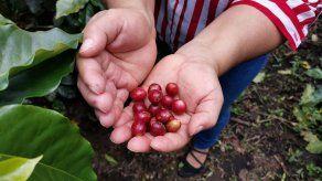MIDA recomienda utilizar nuevas variedades de semillas para el cultivo de café