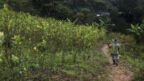 EEUU dice que cultivos de coca en Colombia se reducen por primera vez desde 2012