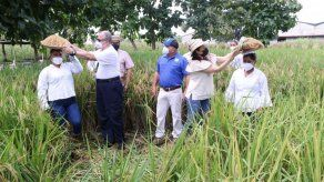 Privadas de libertad del centro penitenciario de Llano Marín realizan cosecha de arroz