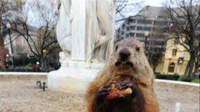Famosa marmota Phil pronostica que el invierno terminará pronto en EEUU