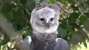 Grupo criminal podría haber robado águila harpía del Summit para venderlo en el extranjero