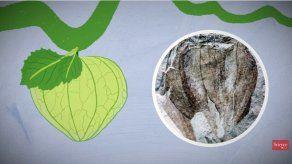 Hallan en Argentina registro fósil de un tomate de 52 millones de años