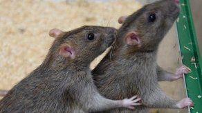 Descubren que las ratas comunes se ayudan de forma recíproca como los humanos