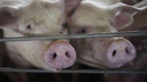 Panamá prohíbe importación de cerdo de países afectados por peste porcina
