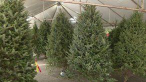 Alcaldía de Panamá regula la venta de árboles de Navidad