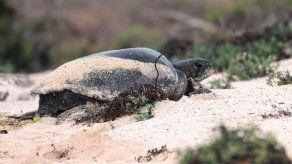 Galápagos estudiará el impacto de actividad turística en anidación tortugas