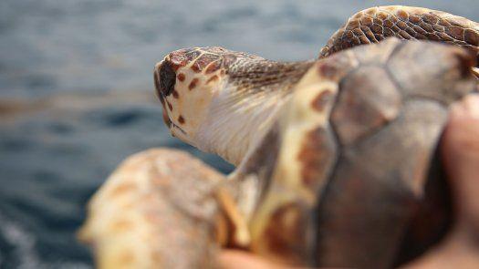 En cada jornada de monitoreo, un veterinario se encarga de evaluar a cada una de las tortugas y se le da atención médica de ser necesario, explicó el Ministerio de Ambiente de Panamá.