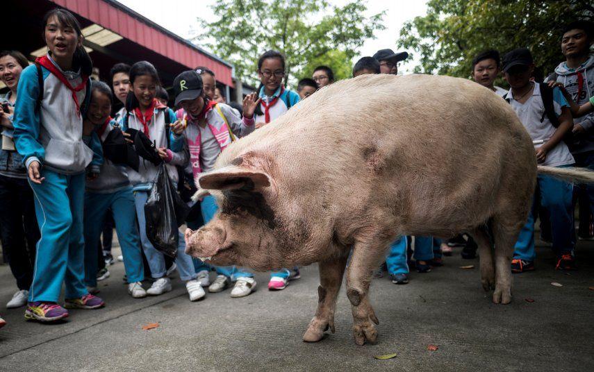 Un museo local cerca de la ciudad de Chengdu adquirió el animal por 3.008 yuanes (450 dólares) y lo conservó como una atracción turística hasta el final de sus días.