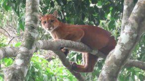 MiAmbiente da seguimiento a reporte sobre presencia de puma en Divalá
