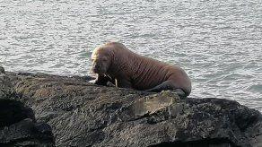 Una morsa ártica en la costa irlandesa: otro aviso sobre la crisis climática
