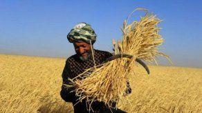 Chicago semanal: el clima favorece a la soja y penaliza al trigo