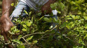 Colombia admite un aumento en los cultivos de hojas de coca