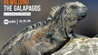 La Dirección del Parque Nacional Galápagos junto a estos grupos de apoyo, lideran acciones para reintroducir especies en peligro de extinción a sus hábitats naturales.