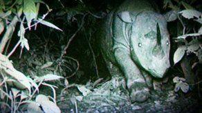 Buscan salvar especie de rinoceronte de Borneo