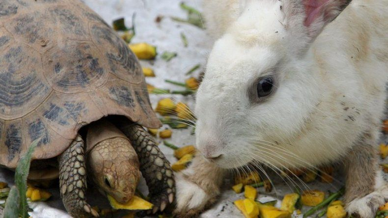 Una tortuga vence a un conejo en una carrera de esquí en China