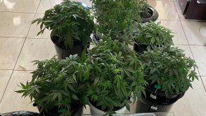 Detención preventiva a hombre que tenía 12 plantones de marihuana en su apartamento