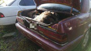 Capturan a sujeto con una vaca descuartizada en maletero del vehículo en Pacora