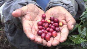 Panamá iniciará un proyecto del cultivo del café sin usar agroquímicos y con fines médicos