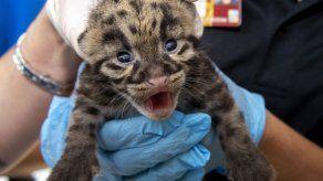 Zoológico de Miami comparte fotos de crías de leopardo nebuloso