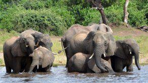 Botsuana levanta la veda a la cacería de elefantes