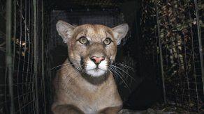 Puma muere atropellado en Los Ángeles al cruzar autopista