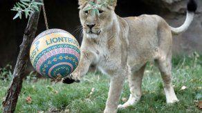 Zoo de Londres alista felinos para el Día Mundial del León