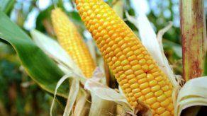 Se emplea nueva semilla de maíz para mejorar producción