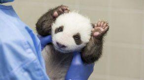 Pandas en zoo de Berlín abren por primera vez los ojos al mundo