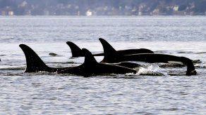 Estudio: Salmón chinook es clave en alimentación de orcas